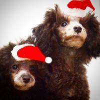 クリスマスの帽子 - Pure Luster(プードルのブログ)