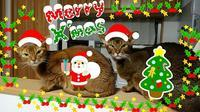 Merry Christmas and Happy holidays - Martinbrown's Abyssinians