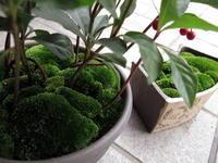 ヤブコウジで苔盆栽 - リリ子の一坪ガーデン