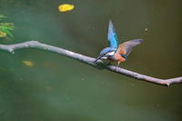 2016年を振り返って(8月編)…カワセミ、サンコウチョウ、コルリ、キビタキ、シジュウカラ - 上州自然散策2