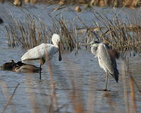 冬・水鳥・湖北 - 季節の鳥達
