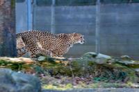 有チーター記念(多摩グランプリ) - 動物園へ行こう