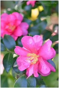 師走の花 - caetla