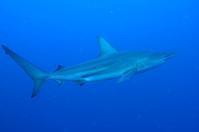 カマストガリザメ - 沖縄 ダイビング 水中写真 フォトギャラリー