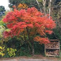【麗】散りてなお美しきかなモミジの葉。 - いつかきっと