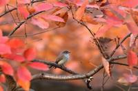 オジロビタキ2016 - 鳥待ち写真日記