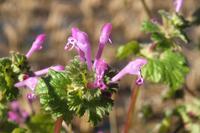 ■ 田んぼまわりの花   16.12.28   (ホトケノザ、ナズナ、オニノゲシ) - 舞岡公園の自然2