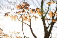 12月の紫陽花 - 今日もカメラを手に・・・♪