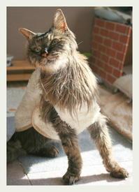 22才 ご長寿猫 はんぞう との暮らし 「12月21日~12月25日の はんぞう」 - たびねこ