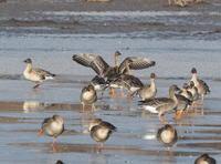 蕪栗沼のオオヒシクイ - コーヒー党の野鳥と自然 パート2