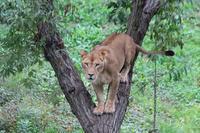 ライオンサファリの秋~木登りライオン - 続々・動物園ありマス。