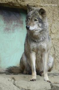 ミロ、波瀾万丈の狼生 2(2012〜2013年・旧獣舎時代) - 今日ものんびり動物園