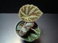 Begonia kui - ベゴの葉っぱ