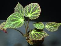 Begonia chloroneura - ベゴの葉っぱ