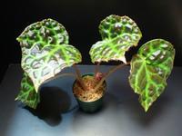 Begonia rajah - ベゴの葉っぱ