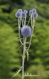 ヒゴタイ - まぐの野の花図鑑