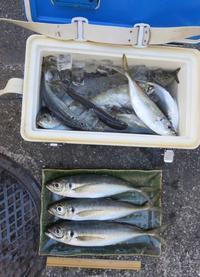 2016年の締めくくりは大漁のアジで - 光さんの日常