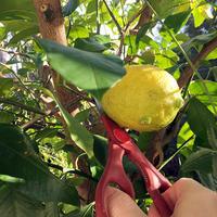 初・レモン狩り☞純レモンサワーって言うんですか、大満足♪ - Isao Watanabeの'Spice of Life'.