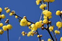17年冬の自然(1)……もう咲いている、まだ咲いている(1) - ふぉっしるもしてみむとてするなり