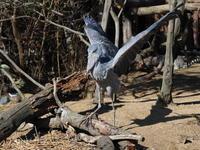 ハシビロコウ、大きく羽ばたいて、歩く! - さして意味なし、面白くもなし