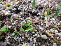 新春酉年♪ - リリ子の一坪ガーデン