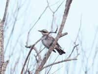 蕪栗沼の小鳥たち - コーヒー党の野鳥と自然 パート2