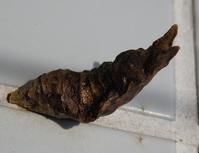 モンキアゲハのさなぎ?  Papilio helenus? - 写ればおっけー。コンデジで虫写真