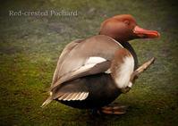 アカハシハジロ:Red-crested Pochard - 動物園の住人たち写真展