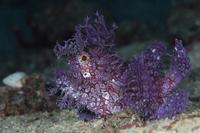 ボロカサゴ紫、思ってたよりデカイ お年玉 - 潜りたおし