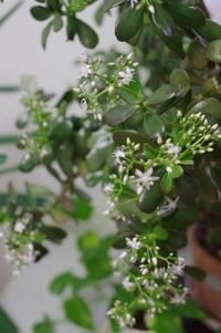 金のなる木の花が咲き始めました - パソコン教室くりっくのブログ