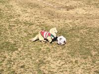 17年1月3日 サッカー&ボール遊び初め♪ - 旅行犬 さくら 桃子 あんず 日記