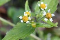 17年冬の自然(2)……もう咲いている、まだ咲いている(2) - ふぉっしるもしてみむとてするなり
