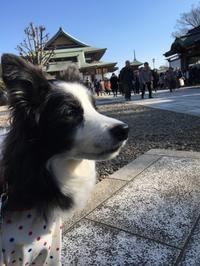 初詣 - 犬とお散歩