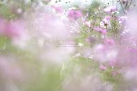 回 想 秋 桜 - HI KA RI