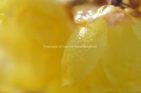 春を告げる黄色の天使 - ratoの大和路