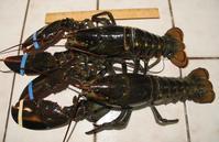 元旦の夕食はロブスターでお祝い - やせっぽちソプラノのキッチン2
