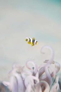 普通のイソギンチャクで ~クマノミ幼魚~ - 池ちゃんのマリンフォト