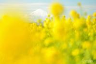 菜の花と富士 - GreenLife