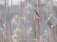 葦原の中から - Field Photo Gallery Blog 日記版