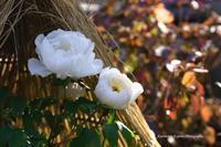 上野東照宮のぼたん苑---自由散歩@撮影 - くにちゃん3@撮影散歩