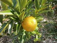 新年は柑橘でスタート  - 自然農☆☆☆菜園日記