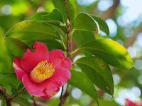 椿の花も - 光の音色を聞きながら Ⅱ