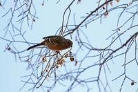今年の初撮りはアトリ他3種でした - 武蔵野の野鳥