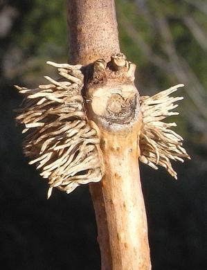 ノウゼンカズラの冬芽 - 樹木見て歩き