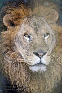 2016.12.17 東北サファリパーク☆ライオンのカール【Lion】 - 青空に浮かぶ月を眺めながら