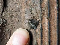 越冬昆虫探し クロオビフユナミシャク(♀) - オヤヂのご近所仲間日記