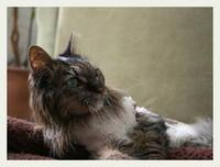 22才 ご長寿猫 はんぞう との暮らし 「12月26日~12月31日の はんぞう」 - たびねこ