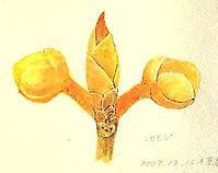 #連載エッセイ [自然感察者のひとりごと] ⑯ 木々の妖精【冬芽・葉痕】 -  スケッチ感察ノート