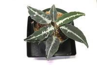 "Aglaonema pictum ""Aceh"" - PlantsCade -2nd effort"