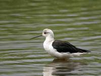 セイタカシギ - Nobbyの鳥ぶろぐ